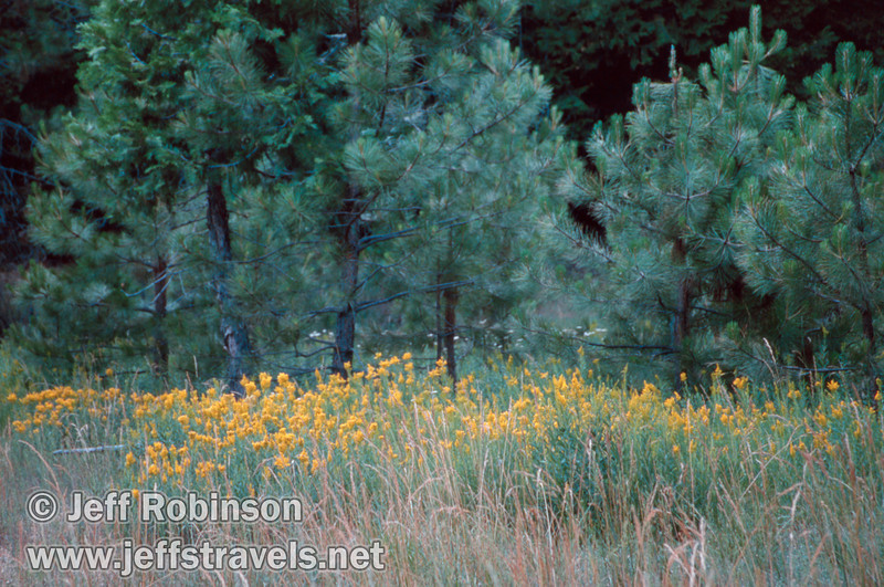 Yellow flowers growing in a field in front of small green pines (July 2002, South Grove, Calaveras Big Trees SP)