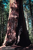 The base of a large sequoia (July 2002, South Grove, Calaveras Big Trees SP)