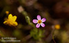 (4/2/2017, Red Hills ACEC, Overlook Loop Trail)<br /> EF100mm f/2.8L Macro IS USM @ 100mm f6.3 1/640s ISO400