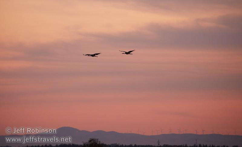 Sandhill Cranes in flight against subtle sunset clouds   (10/12/2016, Woodbridge Ecological Reserve, South Unit)<br /> EF100-400mm f/4.5-5.6L IS II USM @ 400mm f5.6 1/250s ISO3200