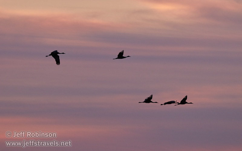 Sandhill Cranes flying against sunset clouds (10/12/2016, Woodbridge Ecological Reserve, South Unit)<br /> 150-600mm F5-6.3 DG OS HSM | Sports 014 @ 300mm f6.3 1/400s ISO1600
