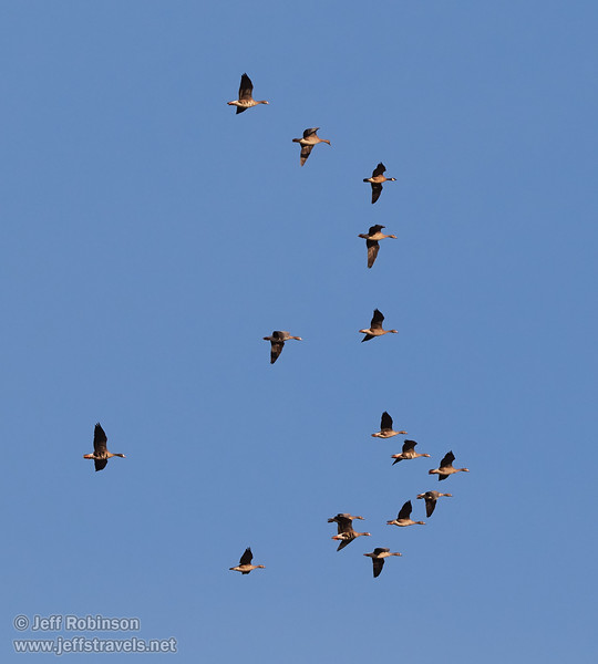 A flock of White-fronted Geese in flight (10/12/2016, Woodbridge Ecological Reserve, South Unit)<br /> 150-600mm F5-6.3 DG OS HSM | Sports 014 @ 210mm f8 1/1000s ISO400