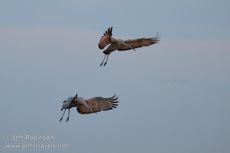 Sandhill Cranes landing (10/12/2016, Woodbridge Ecological Reserve, South Unit)<br /> 150-600mm F5-6.3 DG OS HSM | Sports 014 @ 410mm f6.3 1/250s ISO1600