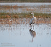 Sandhill Crane with its reflection (10/12/2016, Woodbridge Ecological Reserve, South Unit)<br /> 150-600mm F5-6.3 DG OS HSM | Sports 014 @ 569mm f6.3 1/100s ISO1600