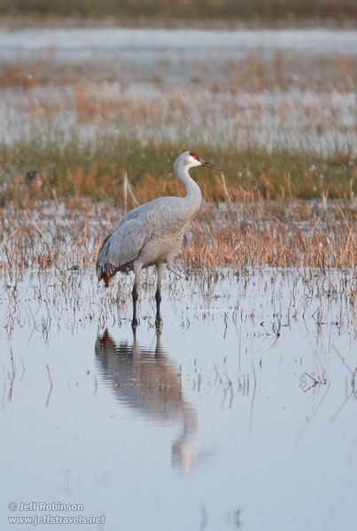 Sandhill Crane with its reflection (10/12/2016, Woodbridge Ecological Reserve, South Unit)<br /> 150-600mm F5-6.3 DG OS HSM | Sports 014 @ 600mm f6.3 1/100s ISO1600