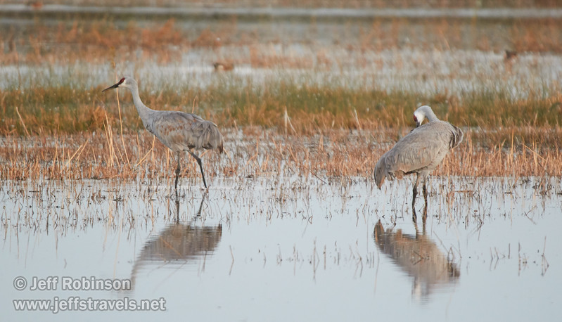 Sandhill Cranes in shallow water (10/12/2016, Woodbridge Ecological Reserve, South Unit)<br /> 150-600mm F5-6.3 DG OS HSM | Sports 014 @ 600mm f6.3 1/60s ISO1600