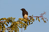A Black Phoebe perched on a bush (10/12/2016, Woodbridge Ecological Reserve, South Unit)<br /> 150-600mm F5-6.3 DG OS HSM | Sports 014 @ 600mm f8 1/1250s ISO400