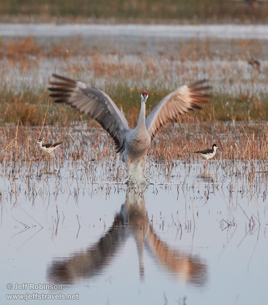 Sandhill Crane landing (10/12/2016, Woodbridge Ecological Reserve, South Unit)<br /> 150-600mm F5-6.3 DG OS HSM | Sports 014 @ 470mm f6.3 1/100s ISO1600