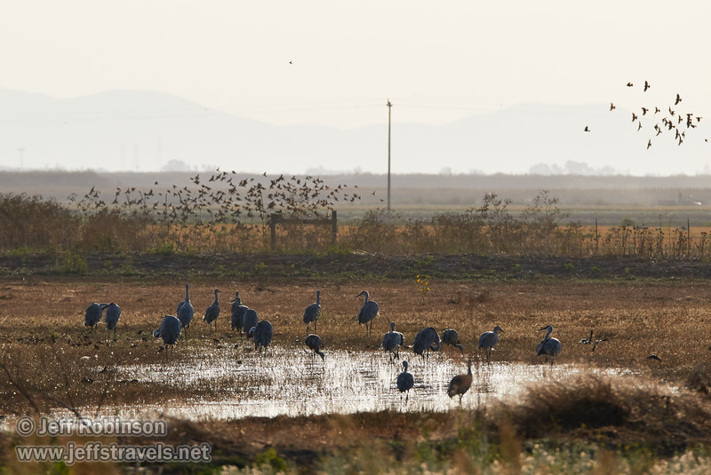 Sandhill Cranes by water in a field, with flocks of smaller birds in flight (10/12/2016, Woodbridge Ecological Reserve, South Unit)<br /> 150-600mm F5-6.3 DG OS HSM | Sports 014 @ 420mm f8 1/1600s ISO400