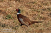 A pheasant near the viewing area (10/12/2016, Woodbridge Ecological Reserve, South Unit)<br /> EF100-400mm f/4.5-5.6L IS II USM @ 400mm f8 1/2000s ISO400