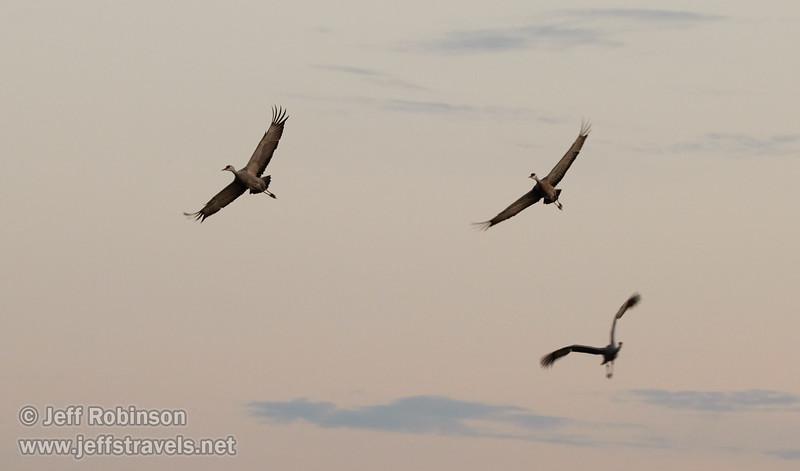 Sandhill Cranes in flight (10/12/2016, Woodbridge Ecological Reserve, South Unit)<br /> 150-600mm F5-6.3 DG OS HSM | Sports 014 @ 175mm f6.3 1/160s ISO1600