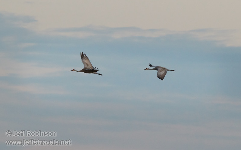 A pair of Sandhill Cranes in flight (10/12/2016, Woodbridge Ecological Reserve, South Unit)<br /> 150-600mm F5-6.3 DG OS HSM | Sports 014 @ 240mm f6.3 1/160s ISO1600
