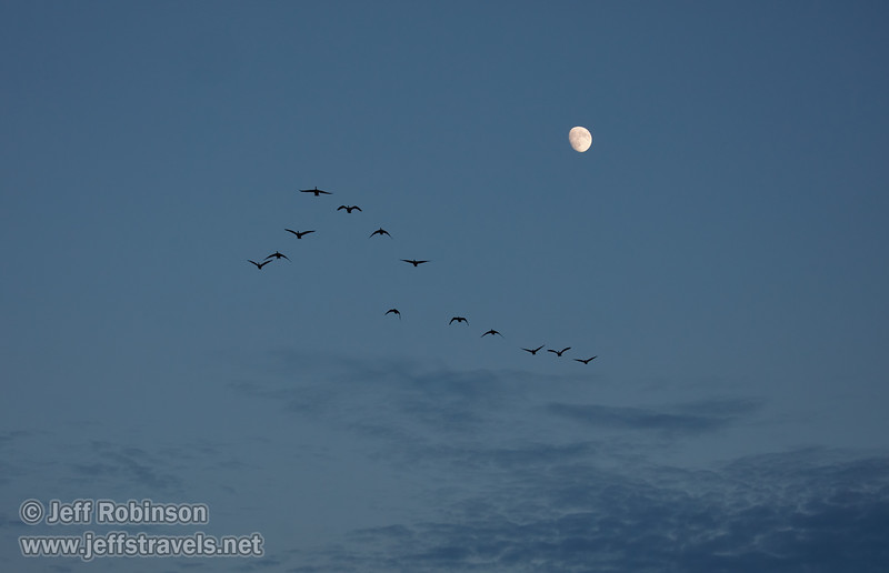 A flock of geese in flight (probably White-fronted Geese) with the moon in the background (10/12/2016, Woodbridge Ecological Reserve, South Unit)<br /> EF100-400mm f/4.5-5.6L IS II USM @ 100mm f5.6 1/500s ISO1000