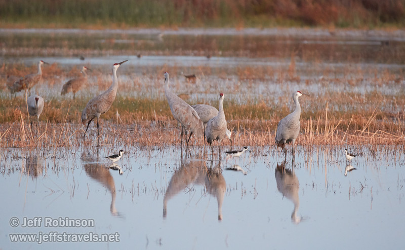 Sandhill Cranes in the shallow water (10/12/2016, Woodbridge Ecological Reserve, South Unit)<br /> 150-600mm F5-6.3 DG OS HSM | Sports 014 @ 481mm f6.3 1/30s ISO3200