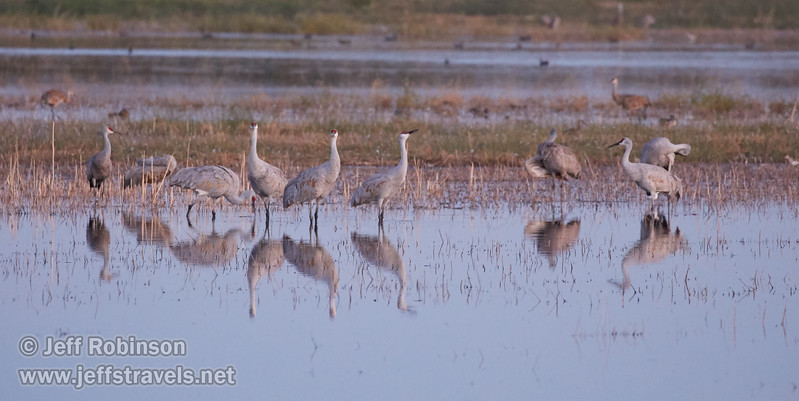 Sandhill Cranes in the shallow water (10/12/2016, Woodbridge Ecological Reserve, South Unit)<br /> EF100-400mm f/4.5-5.6L IS II USM @ 400mm f5.6 1/25s ISO6400