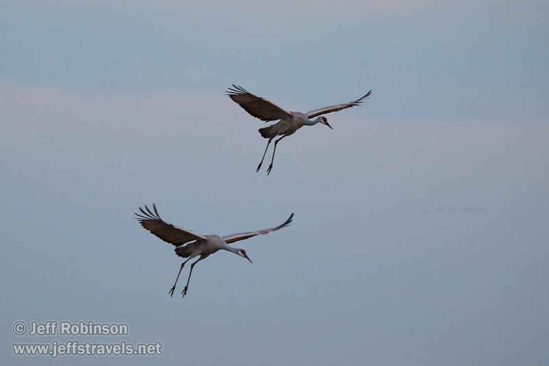 Sandhill Cranes landing (10/12/2016, Woodbridge Ecological Reserve, South Unit)<br /> 150-600mm F5-6.3 DG OS HSM | Sports 014 @ 420mm f6.3 1/250s ISO1600