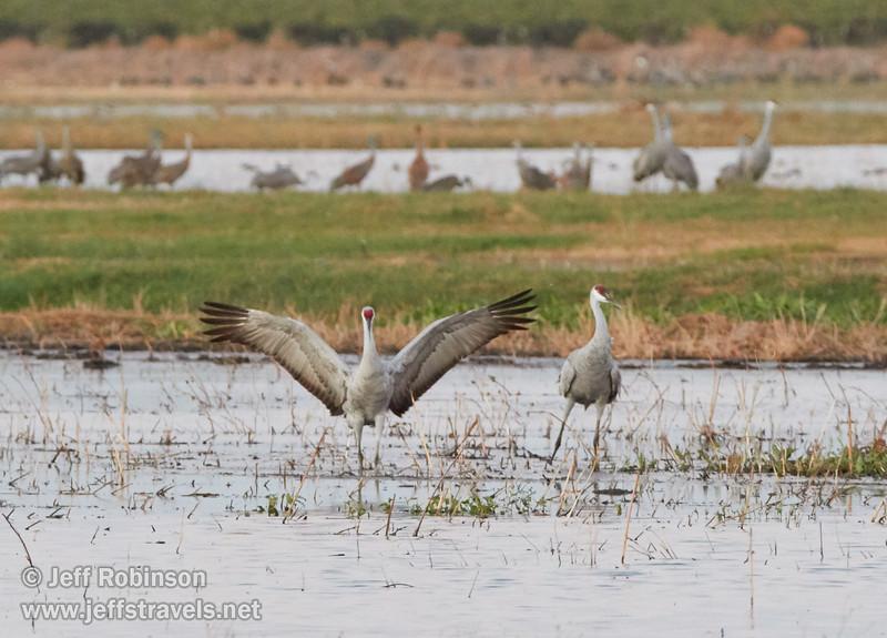 Sandhill Cranes landing (10/3/2015, North Unit, Woodbridge Ecological Reserve / Isenberg Crane Reserve)<br /> TAMRON SP 150-600mm F/5-6.3 Di VC USD A011 @ 329mm f6.3 1/125s ISO4000