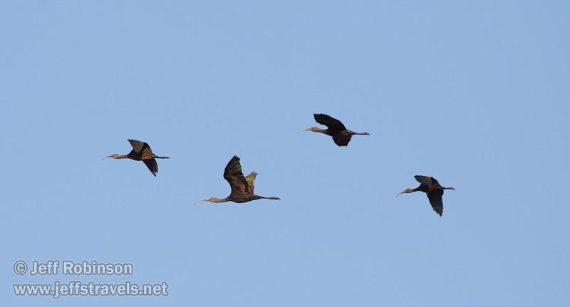 Ibis flying against blue sky (10/3/2015, South Unit, Woodbridge Ecological Reserve / Isenberg Crane Reserve)<br /> EF100-400mm f/4.5-5.6L IS II USM @ 400mm f8 1/1250s ISO640
