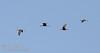 Ibis flying against blue sky (10/3/2015, South Unit, Woodbridge Ecological Reserve / Isenberg Crane Reserve)<br /> EF100-400mm f/4.5-5.6L IS II USM @ 340mm f8 1/1250s ISO640