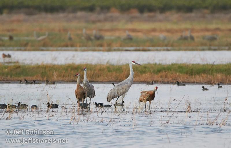 Sandhill Cranes in the wetland (10/3/2015, North Unit, Woodbridge Ecological Reserve / Isenberg Crane Reserve)<br /> TAMRON SP 150-600mm F/5-6.3 Di VC USD A011 @ 600mm f6.3 1/100s ISO4000