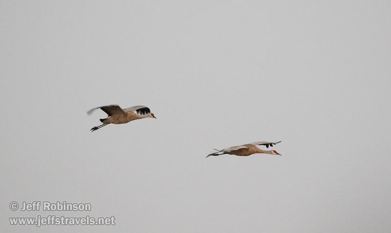 Sandhill Cranes in flight (10/3/2015, North Unit, Woodbridge Ecological Reserve / Isenberg Crane Reserve)<br /> TAMRON SP 150-600mm F/5-6.3 Di VC USD A011 @ 500mm f6.3 1/125s ISO6400