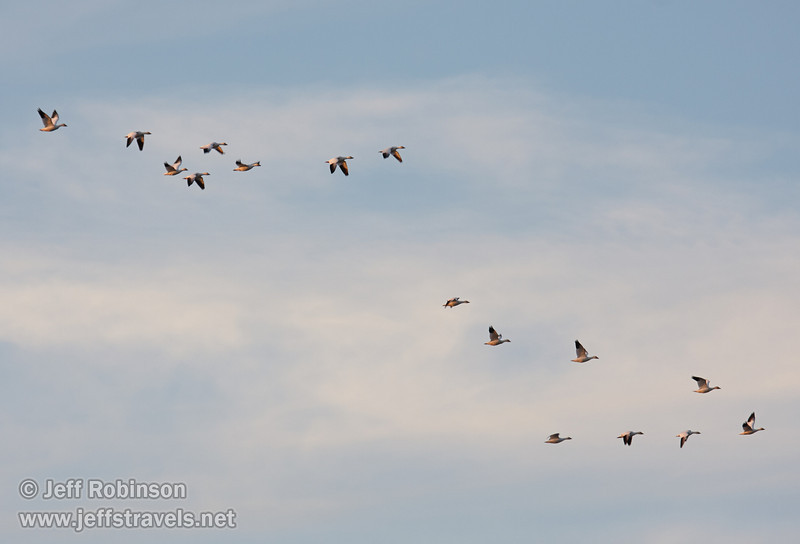 A flock of Snow Geese flying against a blue sky with thin clouds. (1/19/2013, Sacramento National Wildlife Refuge)