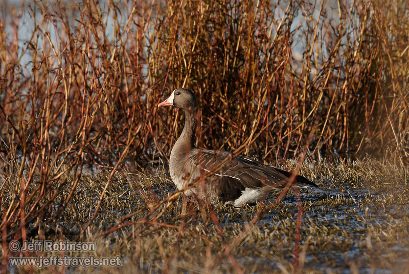 A Greater White-fronted Goose (brownish goose with pinkish bill and white on the front of its face) on grasslands (1/19/2013, Sacramento National Wildlife Refuge)