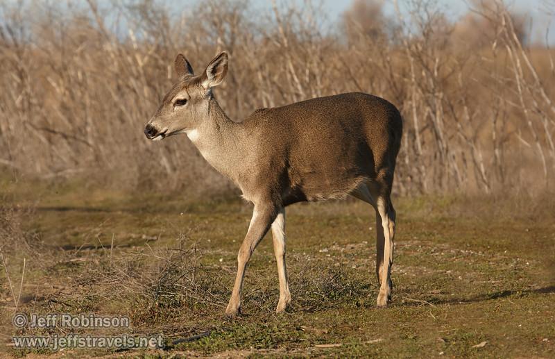 Female deer on the short green grass (1/19/2013, Sacramento National Wildlife Refuge)