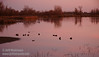 Many ducks in the shallow water that is reflecting the subtle pinks of sunset. (1/19/2013, Sacramento National Wildlife Refuge)