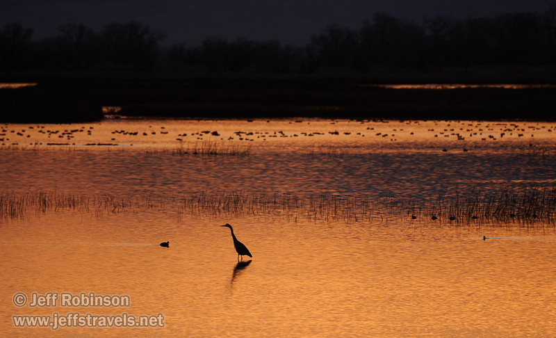 The silhouette of a Great Blue Heron stands out in the water filled with other water fowl and the reflection of sunset color. (1/19/2013, Sacramento National Wildlife Refuge)