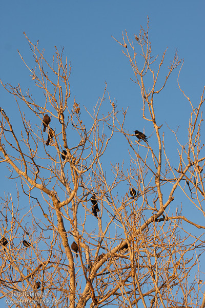Late sun on a leafless tree with black birds in it against a blue sky. (1/19/2013, Sacramento National Wildlife Refuge)