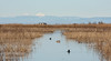 Coots and ducks swimming in a canal through the grasses, with granaries and snow-capped mountains in the distance (Lassen Peak is the tall peak, and the shorter peak to its left is probably Brokeoff Mountain ) (1/19/2013, Sacramento National Wildlife Refuge)