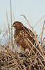 Large brownish raptor with yellow eyes and feet sitting on top of the dry reeds. This is most likely a 1st-year juvenile Red-tailed hawk with western light morph coloring (The Sibley Guide to Birds by David Allen Sibley, p. 122) (1/19/2013, Sacramento National Wildlife Refuge)