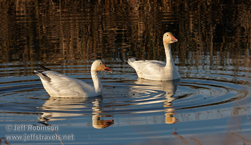 A pair of Snow Geese swimming in the dark-blue water (with reflections). (1/19/2013, Sacramento National Wildlife Refuge)