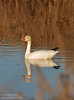 A Snow Goose feeding in the water (with its reflection). (1/19/2013, Sacramento National Wildlife Refuge)