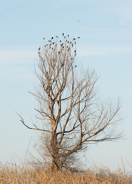Leafless tree against blue sky with thin clouds, with its top filled with blackbirds (1/19/2013, Sacramento National Wildlife Refuge)