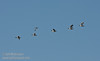 A flock of Snow Geese flying against a partly-cloudy blue sky. (1/19/2013, Sacramento National Wildlife Refuge)