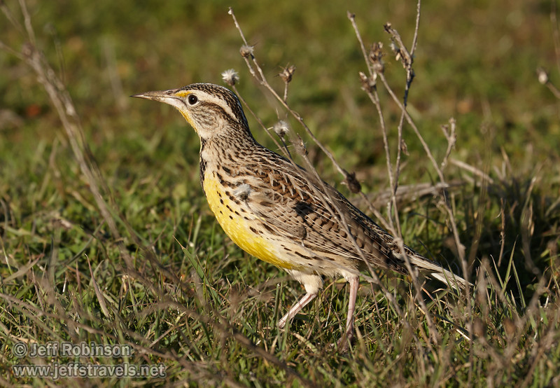 Western Meadowlark (brown bird with a bright-yellow chest) on the short green grass with dry weeds (1/19/2013, Sacramento National Wildlife Refuge)