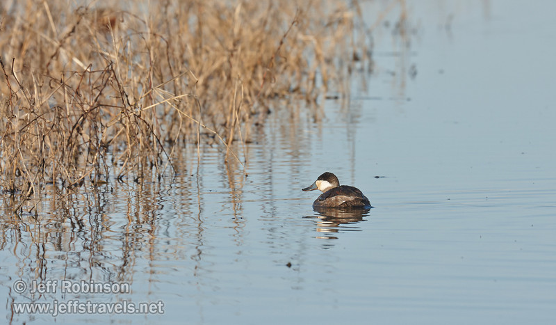 Duck swimming beside dry grasses (probably a male Ruddy Duck in nonbreeding colors) (1/19/2013, Sacramento National Wildlife Refuge)