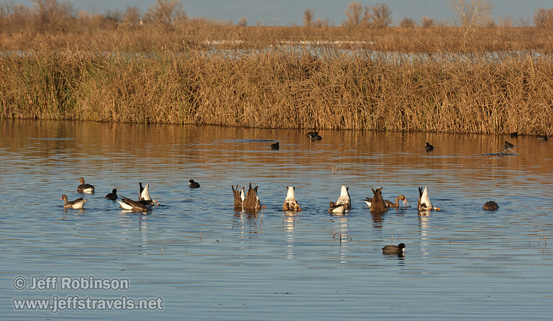 A flock of Greater White-fronted Geese feeding in front of the reeds, with a bunch of American Coots scattered about. (1/19/2013, Sacramento National Wildlife Refuge)