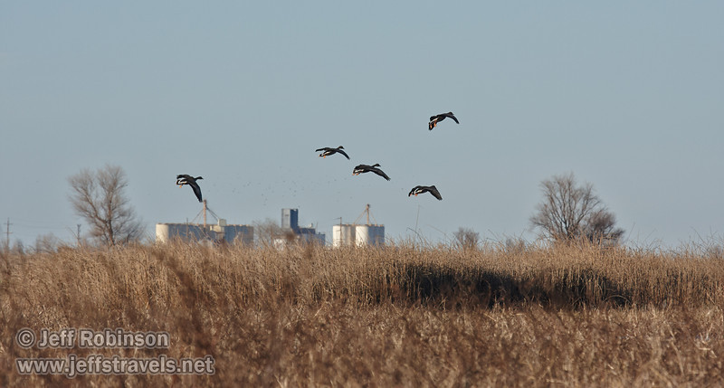 A set of 5 water fowl (probably Greater White-fronted Geese) coming in for a landing over the grasses (1/19/2013, Sacramento National Wildlife Refuge)
