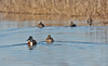 A pair of ducks (Northern Shovelers) swimming away, leaving a V-wake behind them (1/19/2013, Sacramento National Wildlife Refuge)