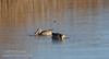 A pair of ducks swimming and feeding. They are probably both female Northern Shovelers. (1/19/2013, Sacramento National Wildlife Refuge)