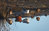 Ducks on the shore with their reflections in the water. The reddish duck to the left of center is probably a Cinnamon Tea, while the one with the white chest is probably a male Northern Pintaill. (1/19/2013, Sacramento National Wildlife Refuge)