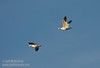A pair of Snow Geese flying against a blue sky. (1/19/2013, Sacramento National Wildlife Refuge)