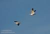 A pair of Snow Geese flying against a blue sky. (1/19/2013, Sacramento National Wildlife Refuge)