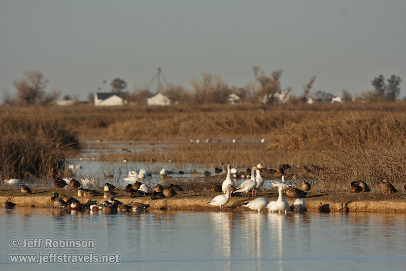 A collection of geese and ducks on an island, with farm buildings in the distance. (1/19/2013, Sacramento National Wildlife Refuge)