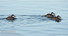Ruddy Ducks swimming in the water. (1/19/2013, Sacramento National Wildlife Refuge)