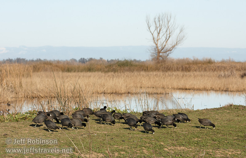 A large flock of American Coots (black bird with a white bill and red eyes) feeding on the green bank, with a large leafless tree in the background (1/19/2013, Sacramento National Wildlife Refuge)
