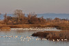 Dozens of white Snow Geese in the water and on an island, with black birds and a raptor in the trees behind. Ducks on the shore with their reflections in the water. (1/19/2013, Sacramento National Wildlife Refuge)